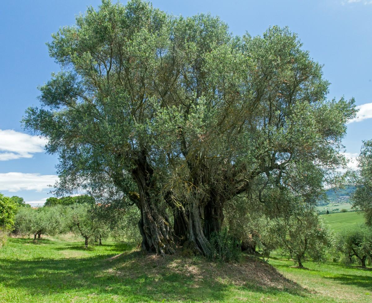 1000-jähriger Olivenbaum beim Lago di Chiusi