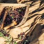 Olivenernte, Toskana