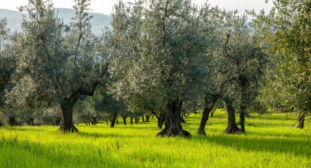 Olivenbaum, Impruneta